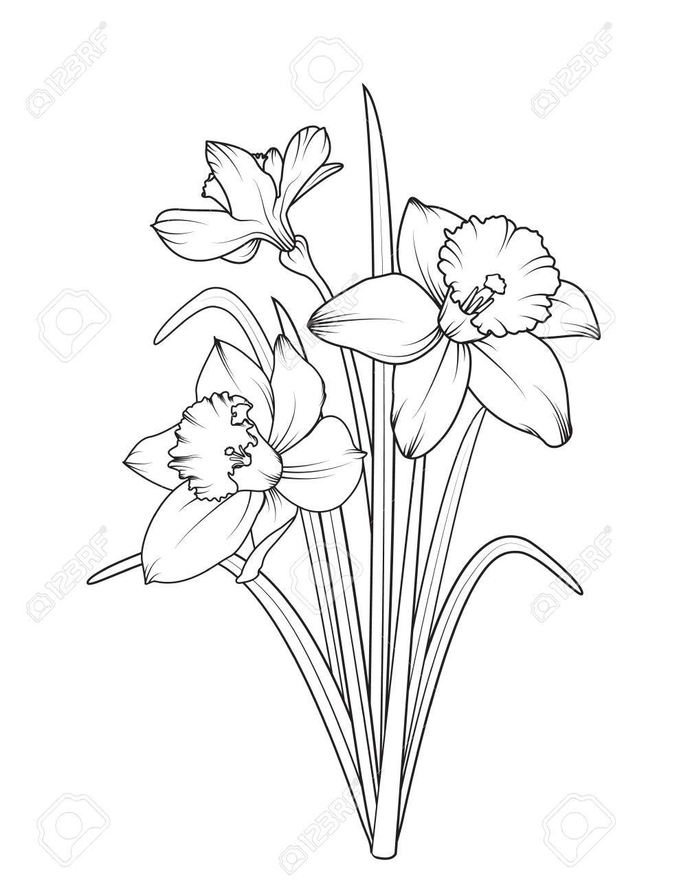Daffodils Narcissus Isolated On White Background Spring Flowers