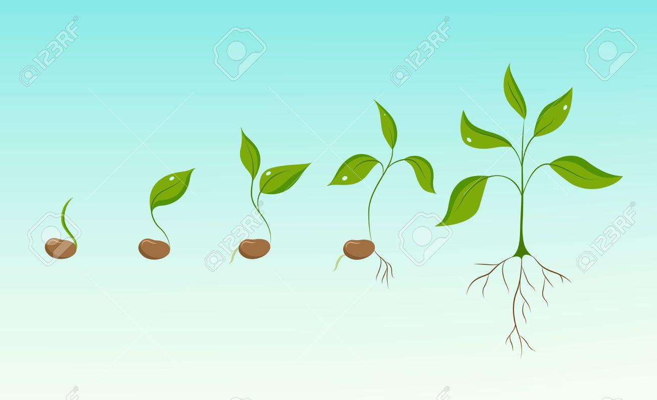 Plante évolution à Partir De Graines De Haricots De Croissance à Germer à Gaules Phases De Verdure Germination Et La Culture Nouvelle Vie Et