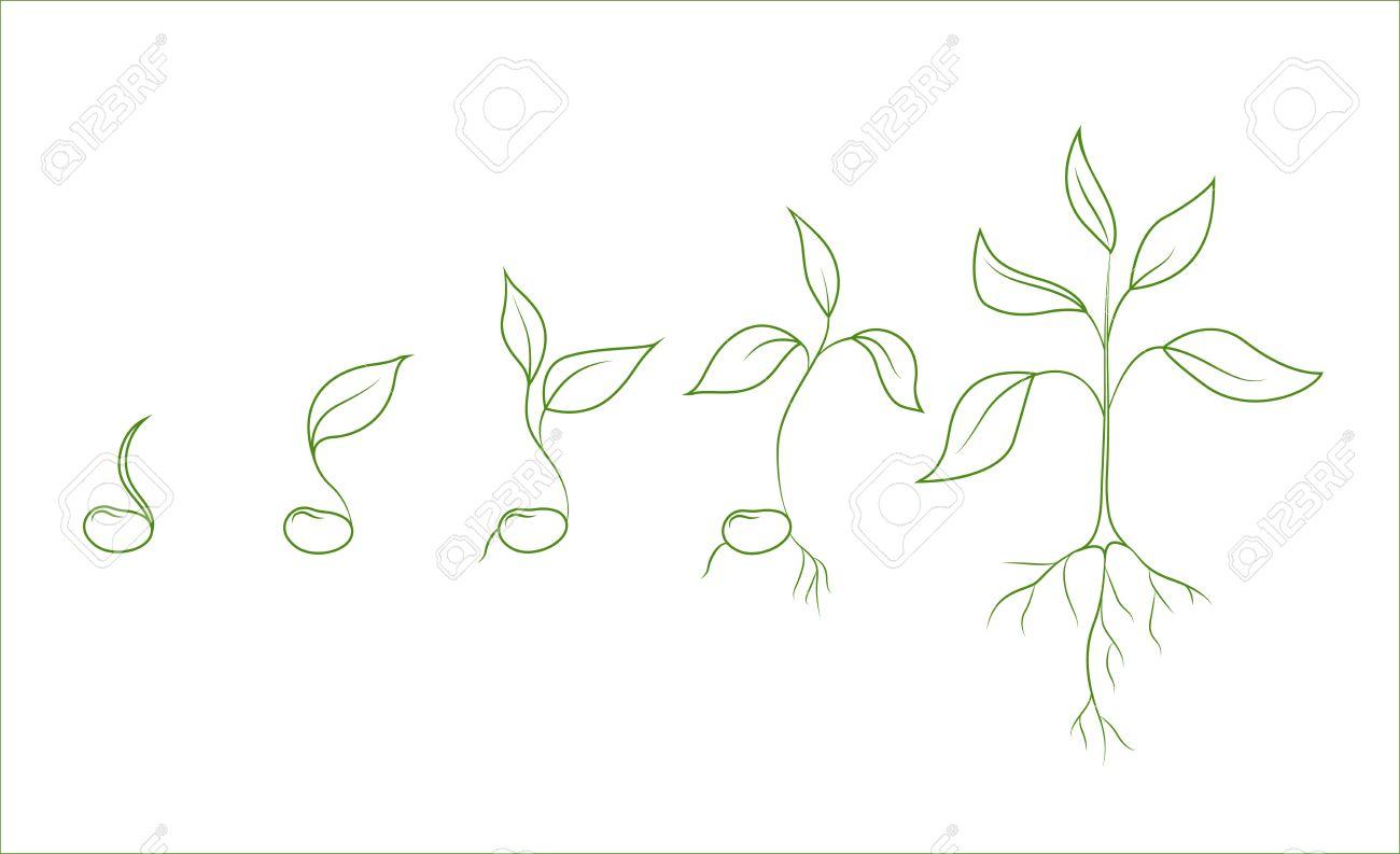 Haricot Phases De Croissance Des Plantes Evolution De La Graine à Gaules Ensemble De Dessins Isolés De Vecteurs De Contour Sur Fond Blanc