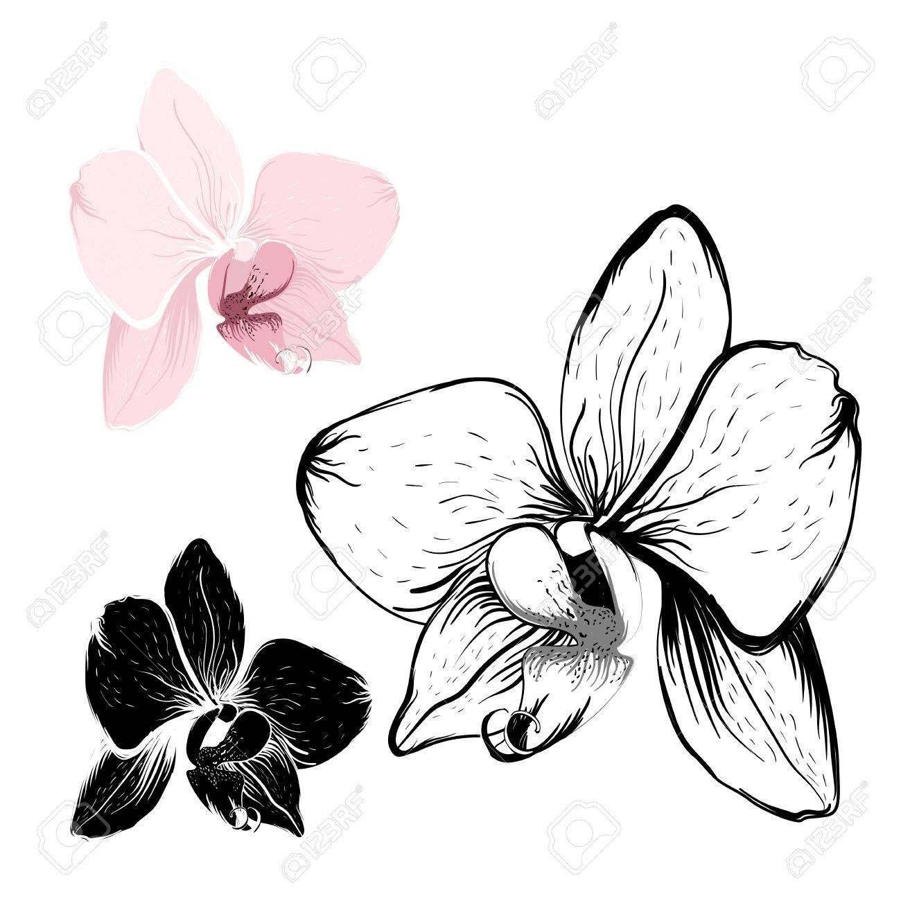 Fleurs D Orchidee Isole Sur Fond Blanc Rose Realiste Et Contour