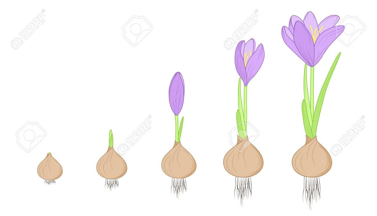Crocus flower evolution germination life cycle stages. Growth concept from corm bulb to plant. Purple, green, brown isolated on white background. Detailed vector design illustration. - 69366023