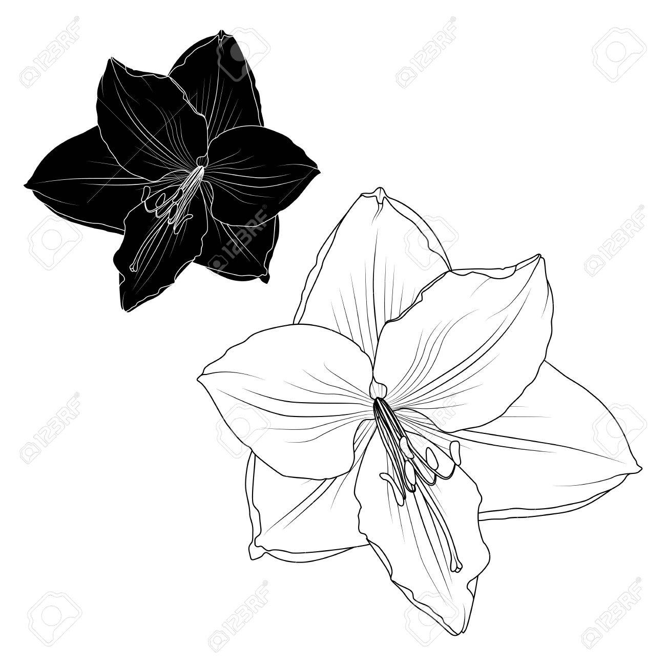 Amaryllis hippeastrum lilly flower black and white isolated element amaryllis hippeastrum lilly flower black and white isolated element tattoo ying yang style vector design izmirmasajfo