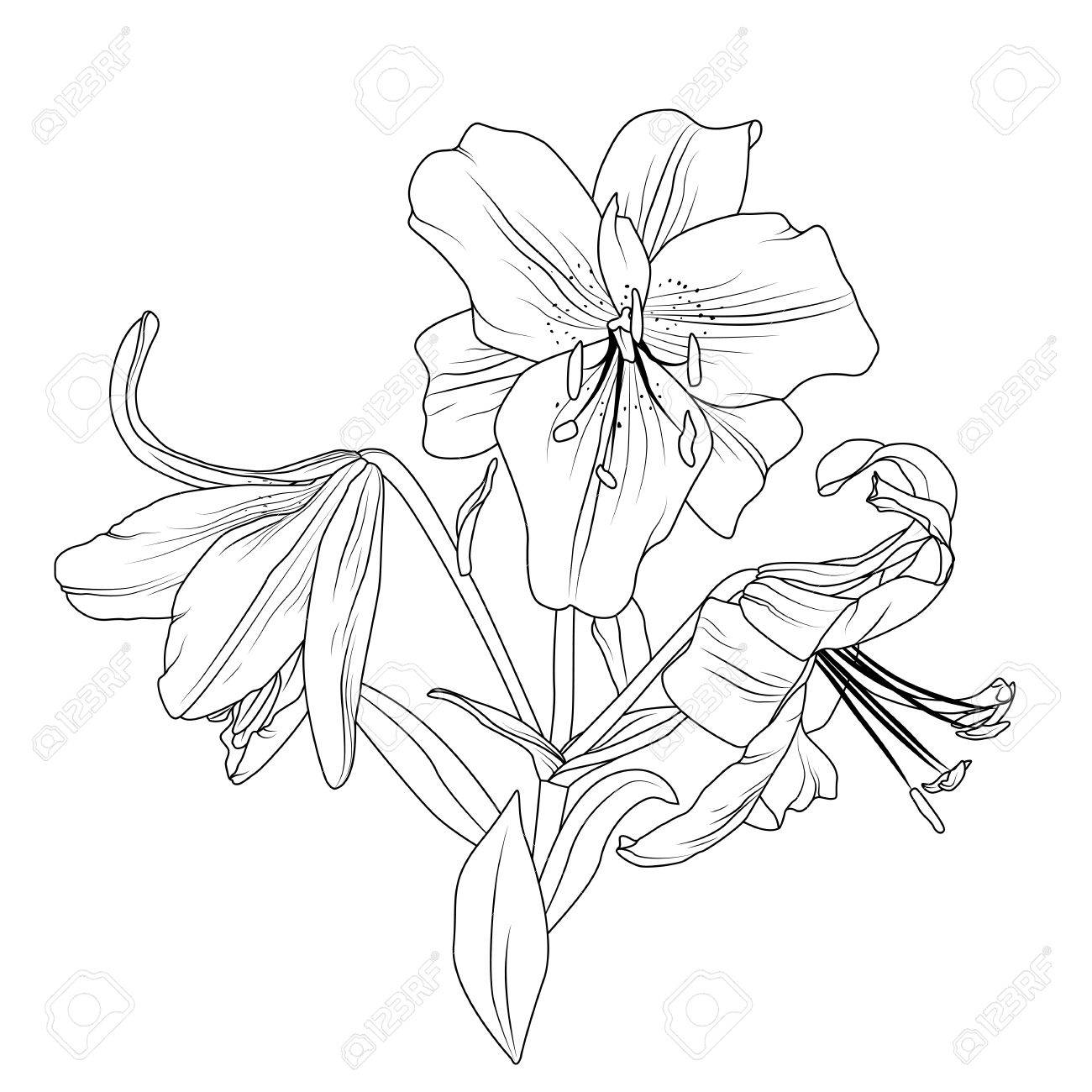 Beautiful blooming lily spring flowers bouquet composition detailed beautiful blooming lily spring flowers bouquet composition detailed outline sketch drawing isolated on white background izmirmasajfo Choice Image