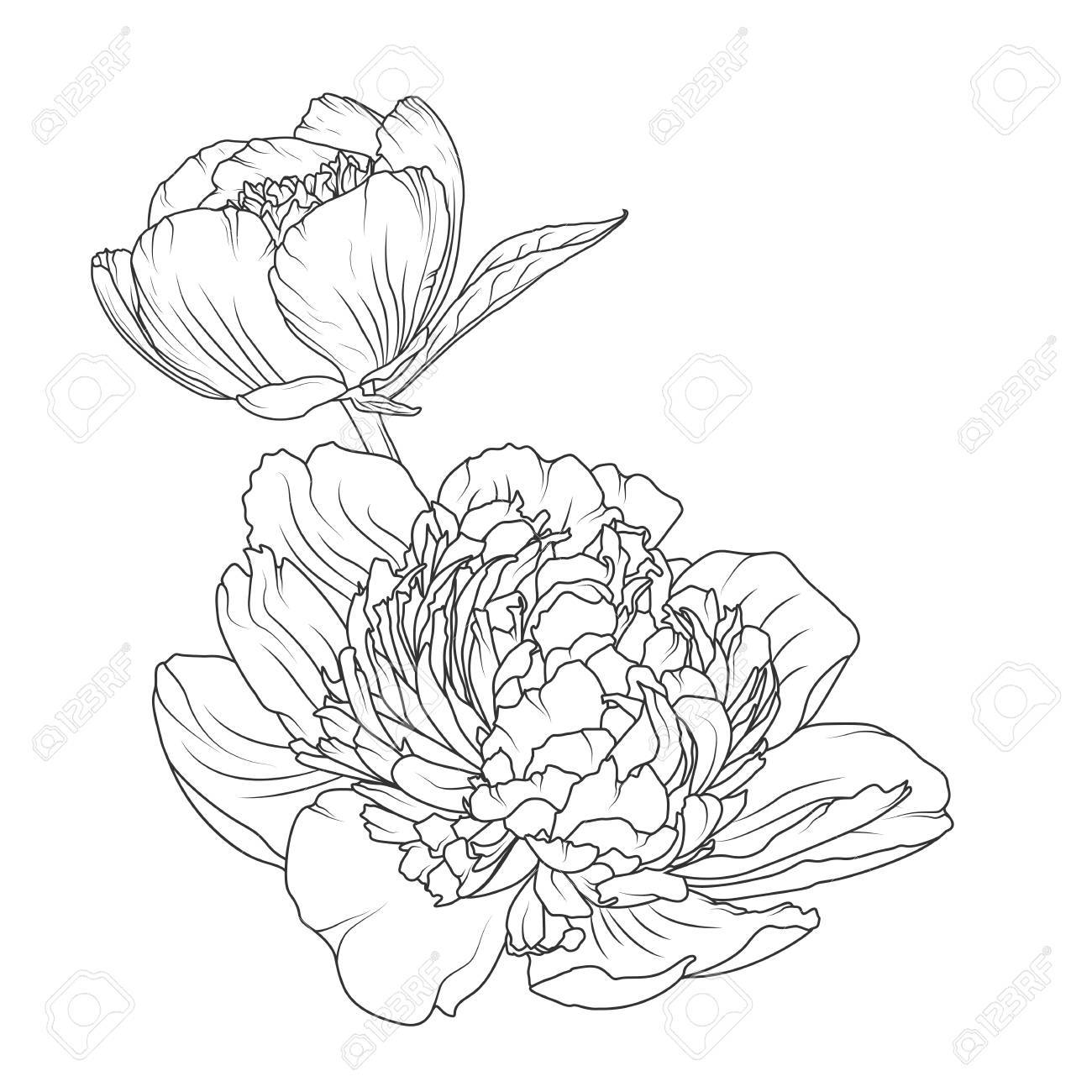 Peony Rose Blooming Garden Flowers Detailed Outline Sketch Drawing