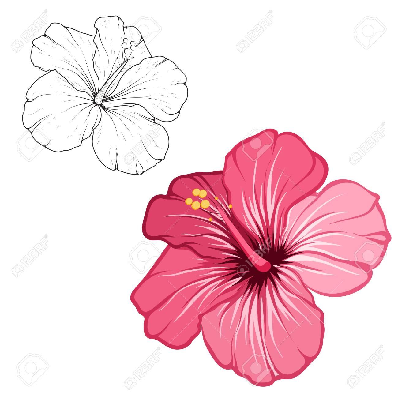 Hibiscus Belle Fleur Fleurissant Isolée Sur Fond Blanc Vue Détaillée De Macro Closeup Jeu De Dessin De Couleur Noir Contour Blanc Croquis