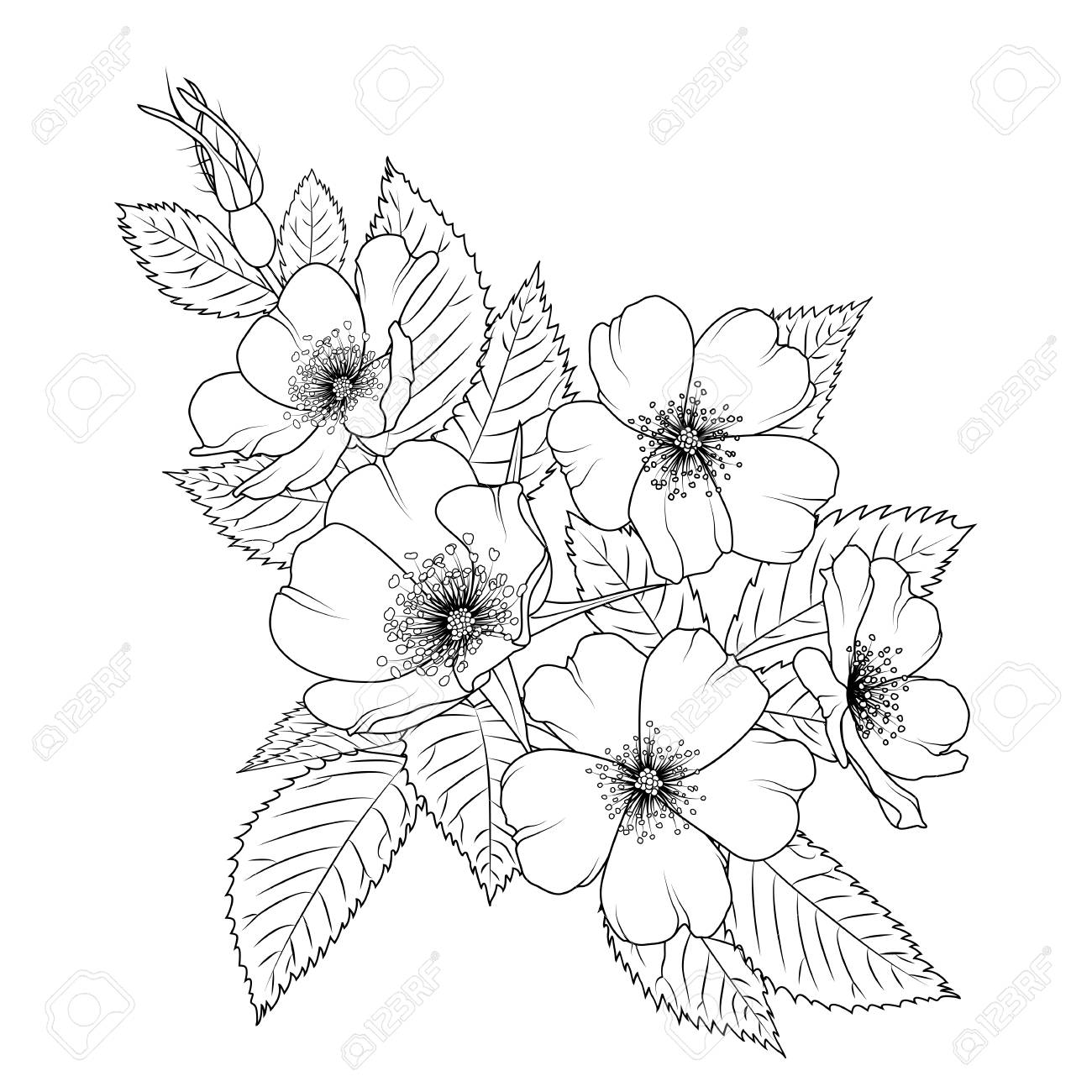 Vector wild rose dog rose rosa canina blooming herb flowers with leaves black outline sketch drawing isolated on white background