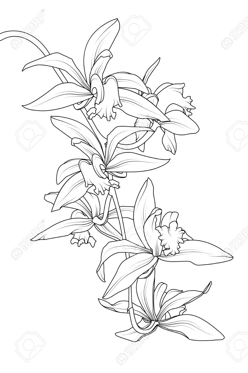 Exotic Tropical Cattleya Orchid Flower Plant Botanical Realistic Royalty Free Cliparts Vectors And Stock Illustration Image 127268189