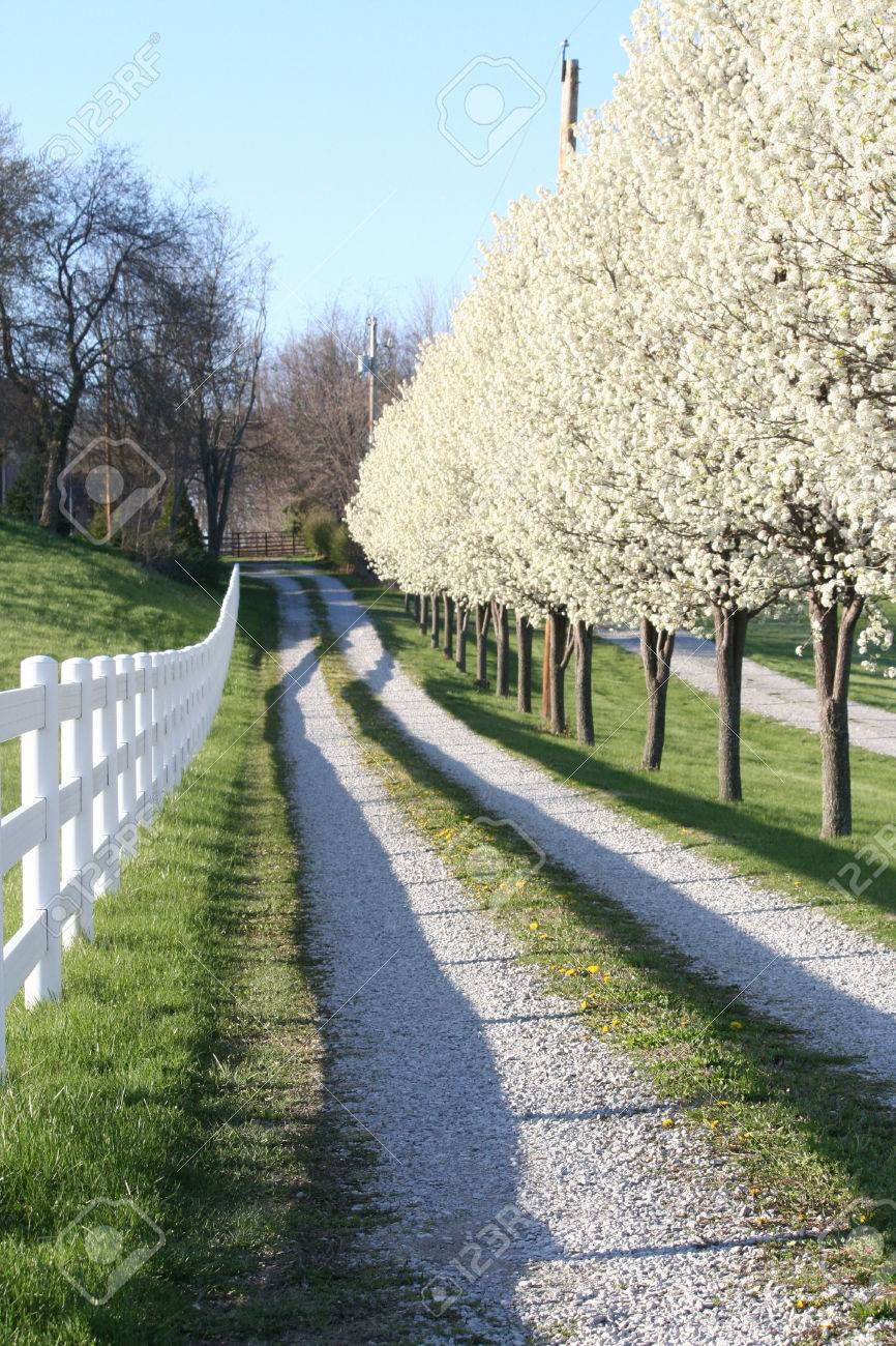 pear trees in blosson line a gravel driveway in fishers indaiana