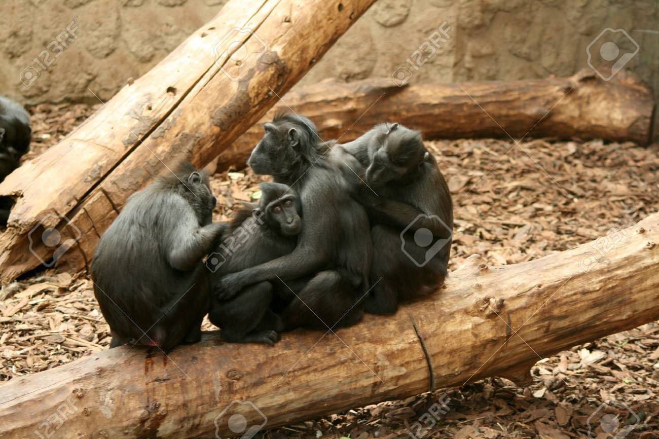 Sulawesi / Celebes Crested Black Macaque Stock Photo - 4208380