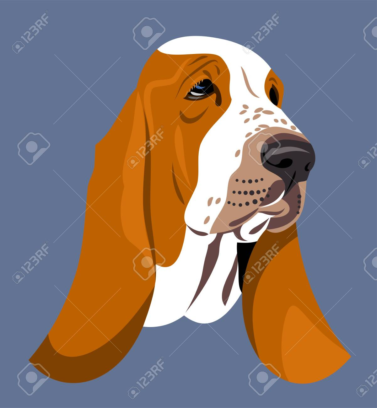 Funny and cute portrait of a dog Basset Hound - 130864050