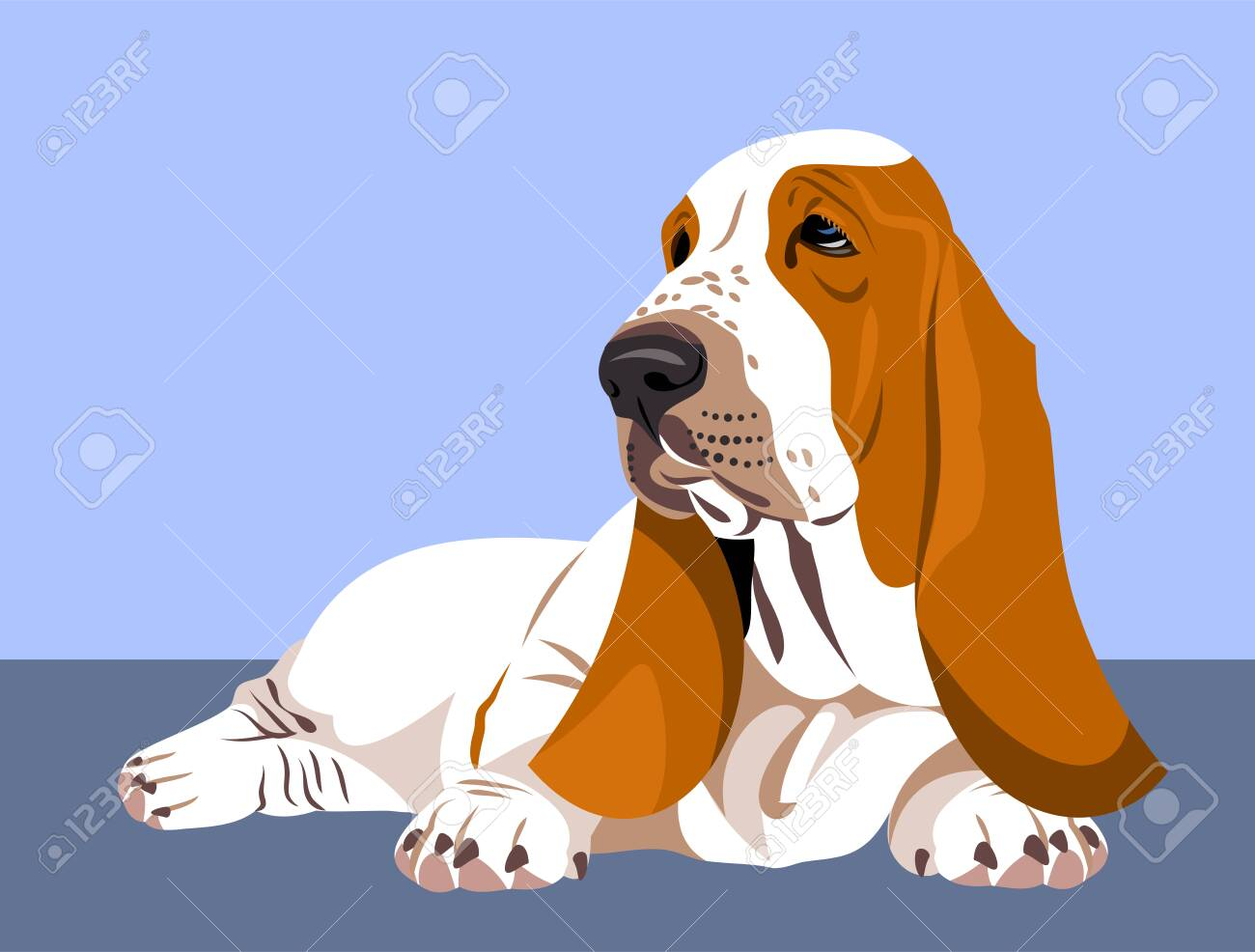Funny and cute portrait of a dog Basset Hound - 130800583