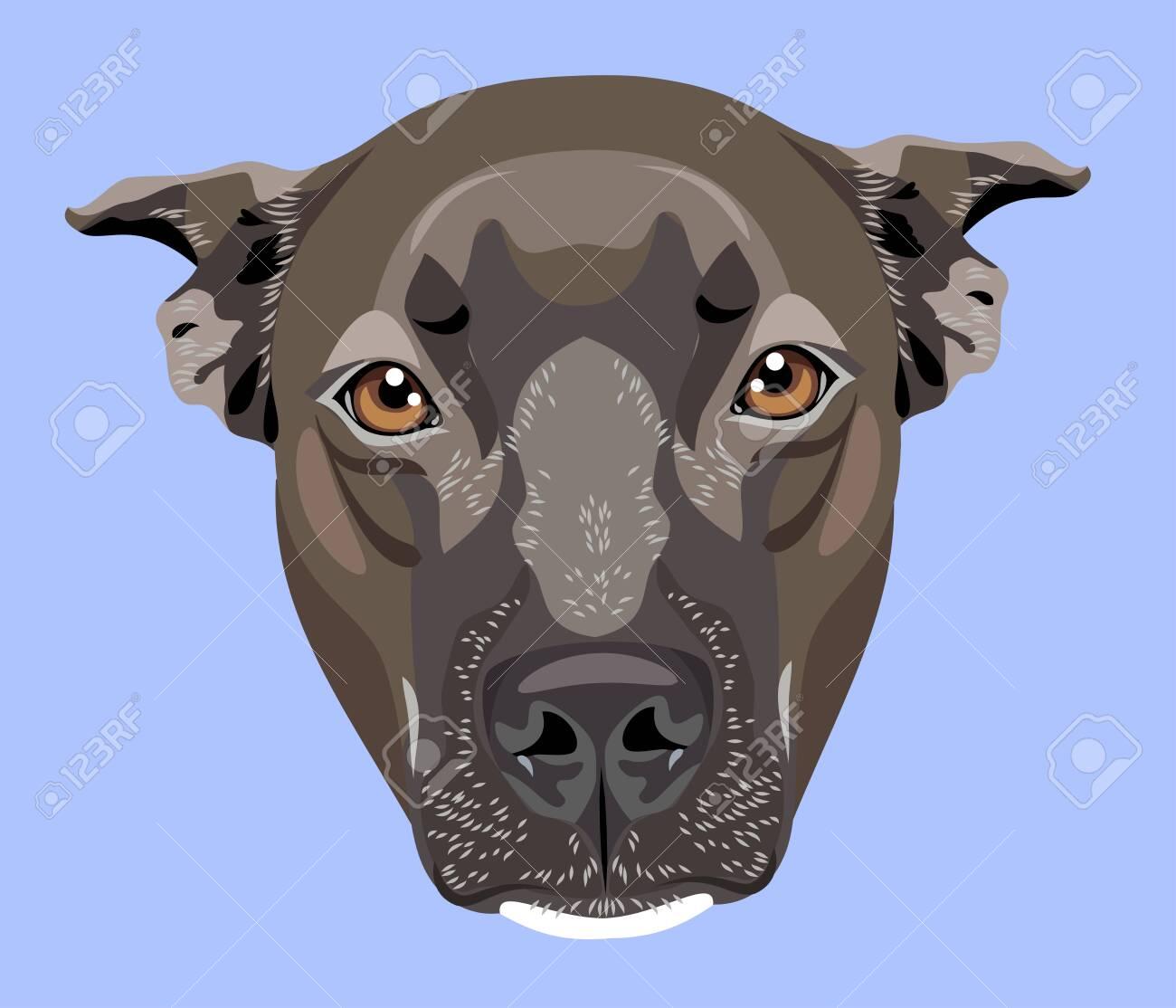 cute portrait of a dog pit bull terrier (american bulldog) - 130800592