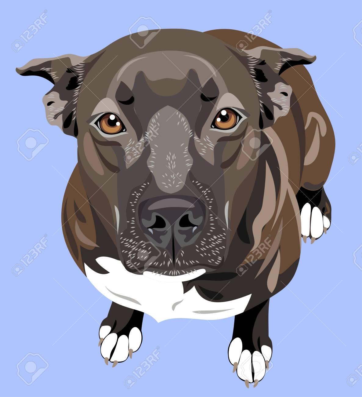 cute portrait of a dog pit bull terrier (american bulldog) - 130800591