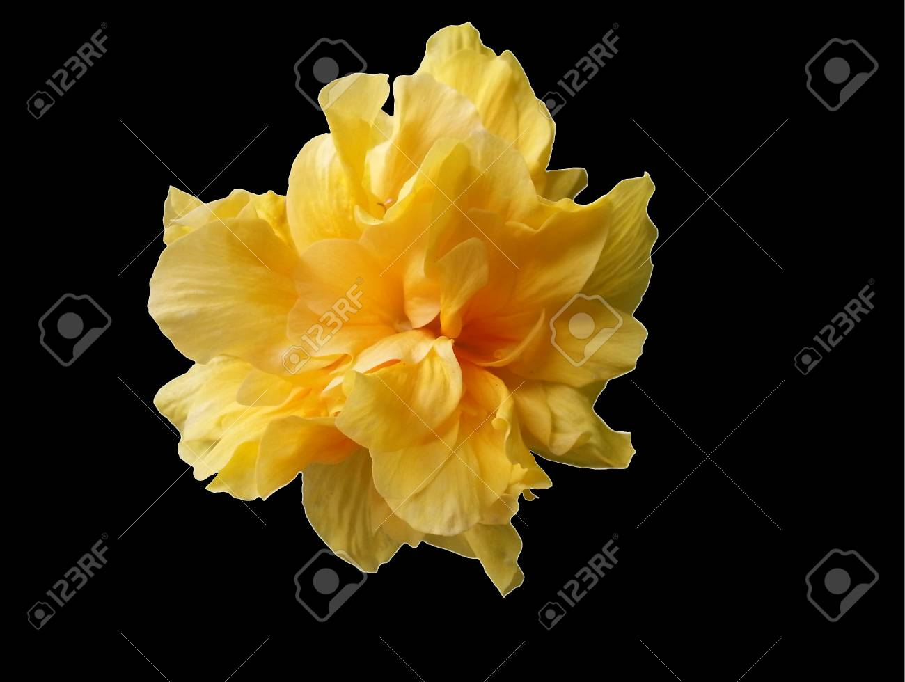 Yellow hibiscus flower on black background with water drop stock photo yellow hibiscus flower on black background with water drop selective focus izmirmasajfo