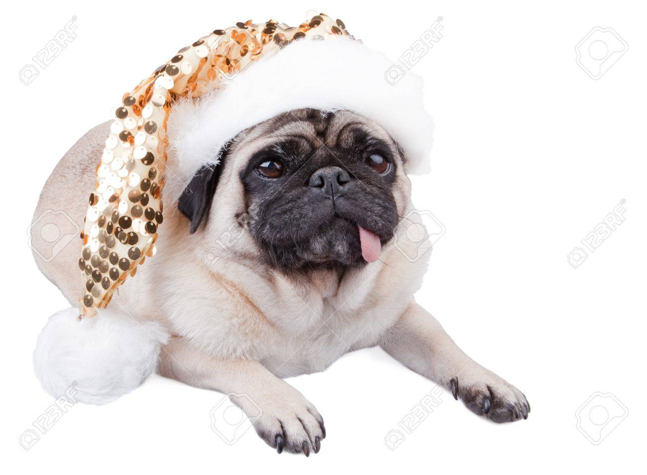 Mops Bilder Weihnachten.Stock Photo