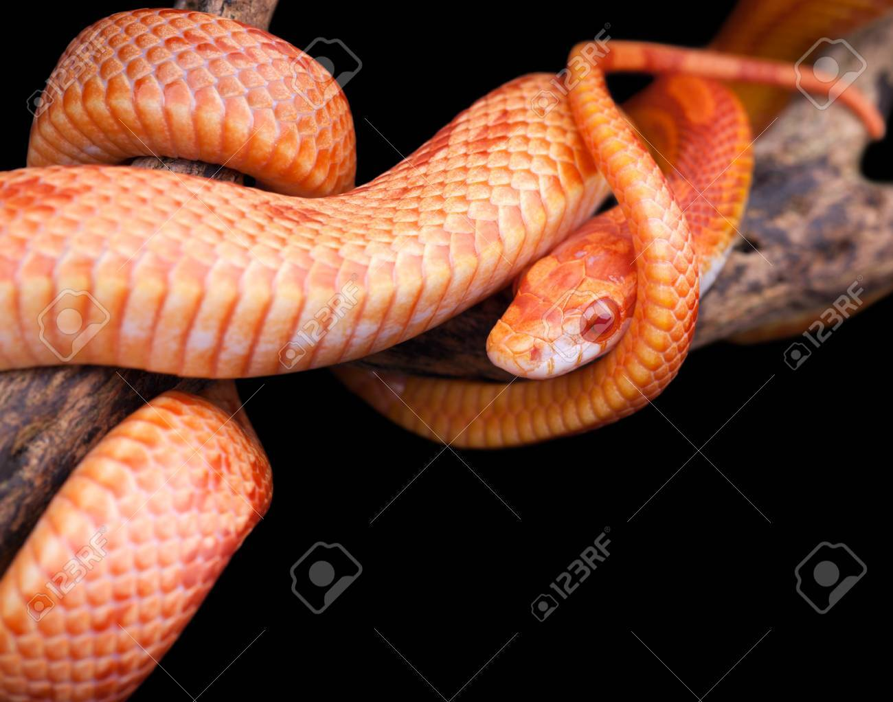 Corn snake wrapped around an old branch and looking at you Stock Photo - 24055798