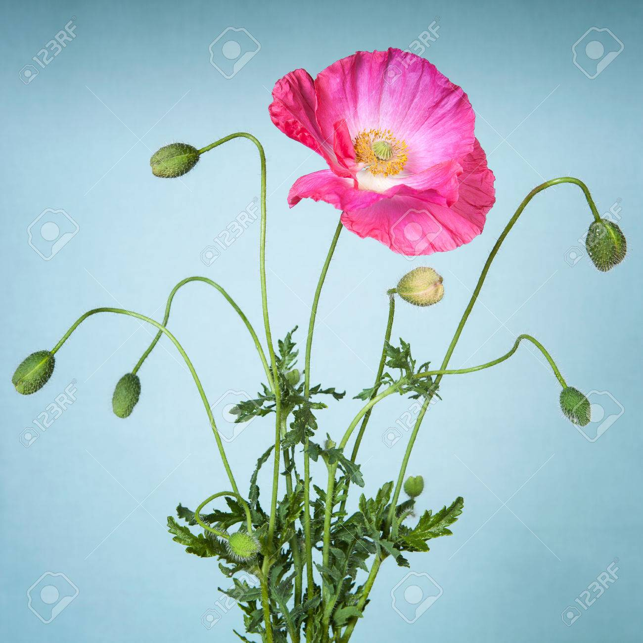 Pink Poppy Flower On Light Blue Background Stock Photo Picture And
