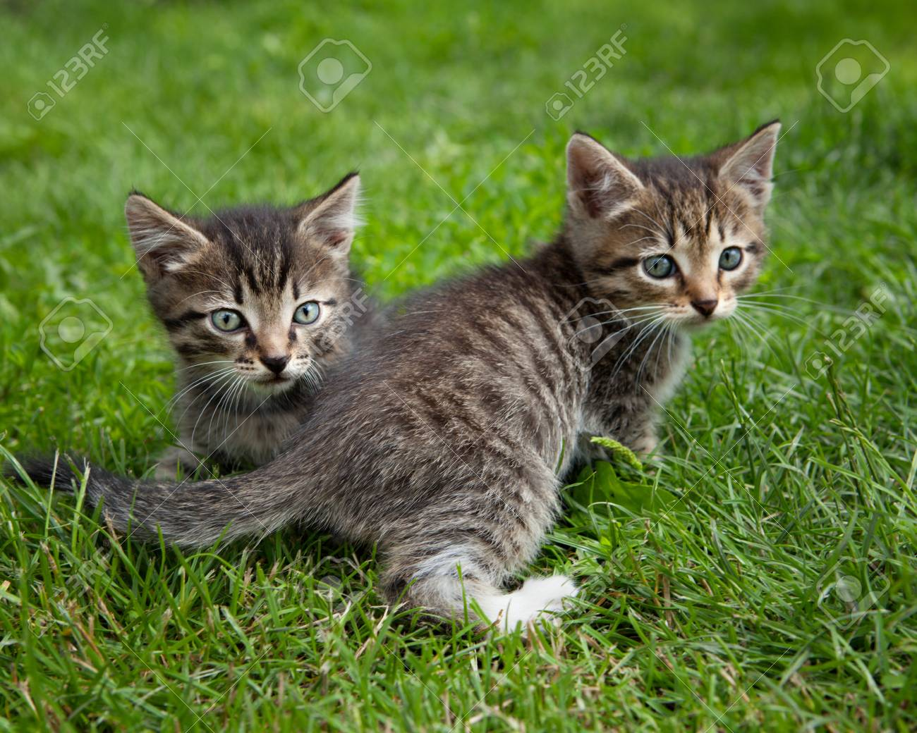 Stock Photo Two Brown Cute Kittens Playing Outside In A Green Grass
