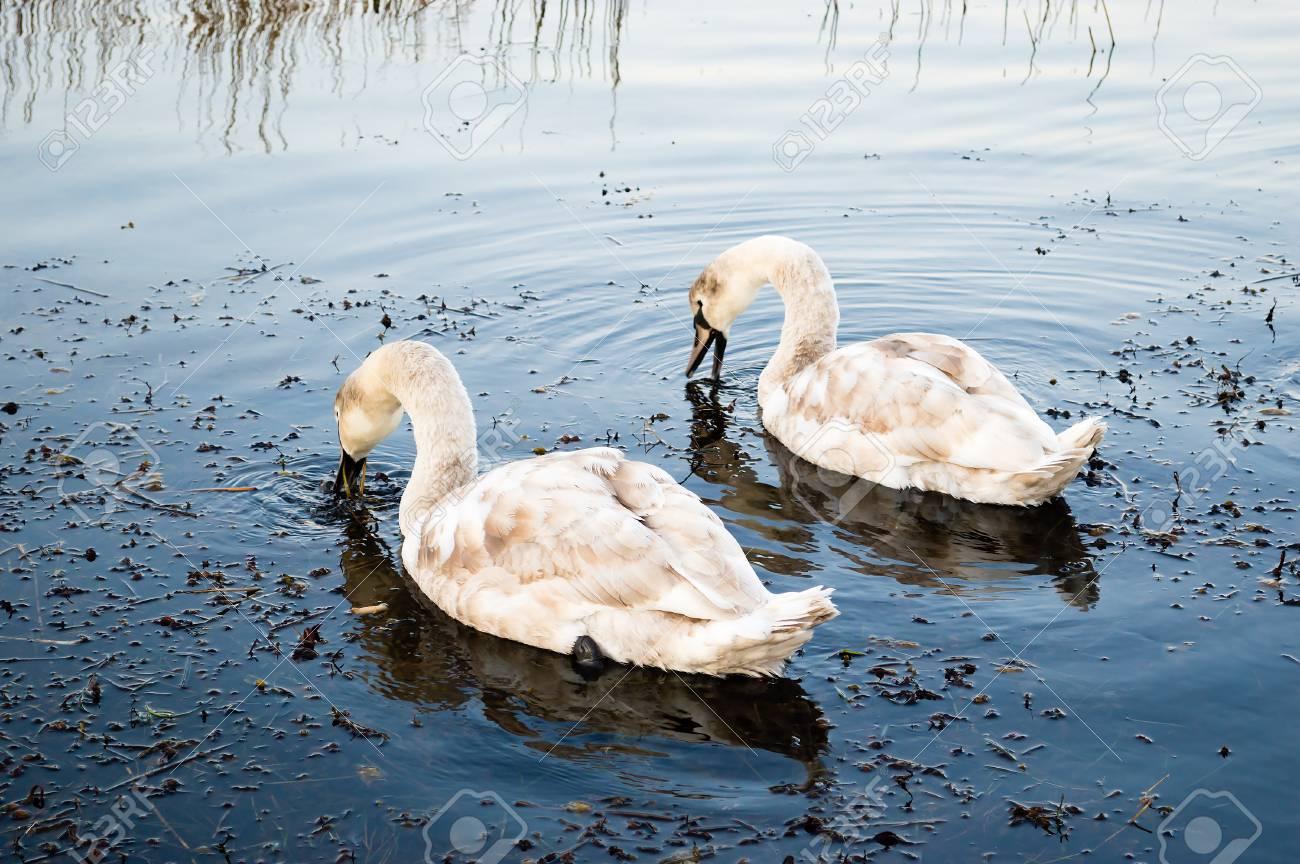 コブハクチョウ (シグナス成田) は、白鳥の種とこのガンカモ類の水鳥 ...