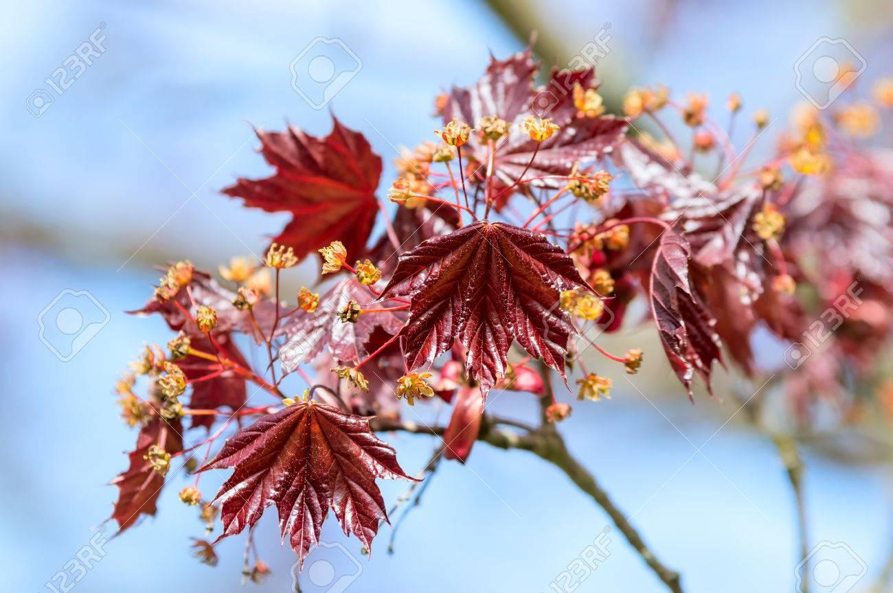 Palmatum Acer, Arce Japonés O Arce Japonés Suave. Aquí Visto En Flor ...