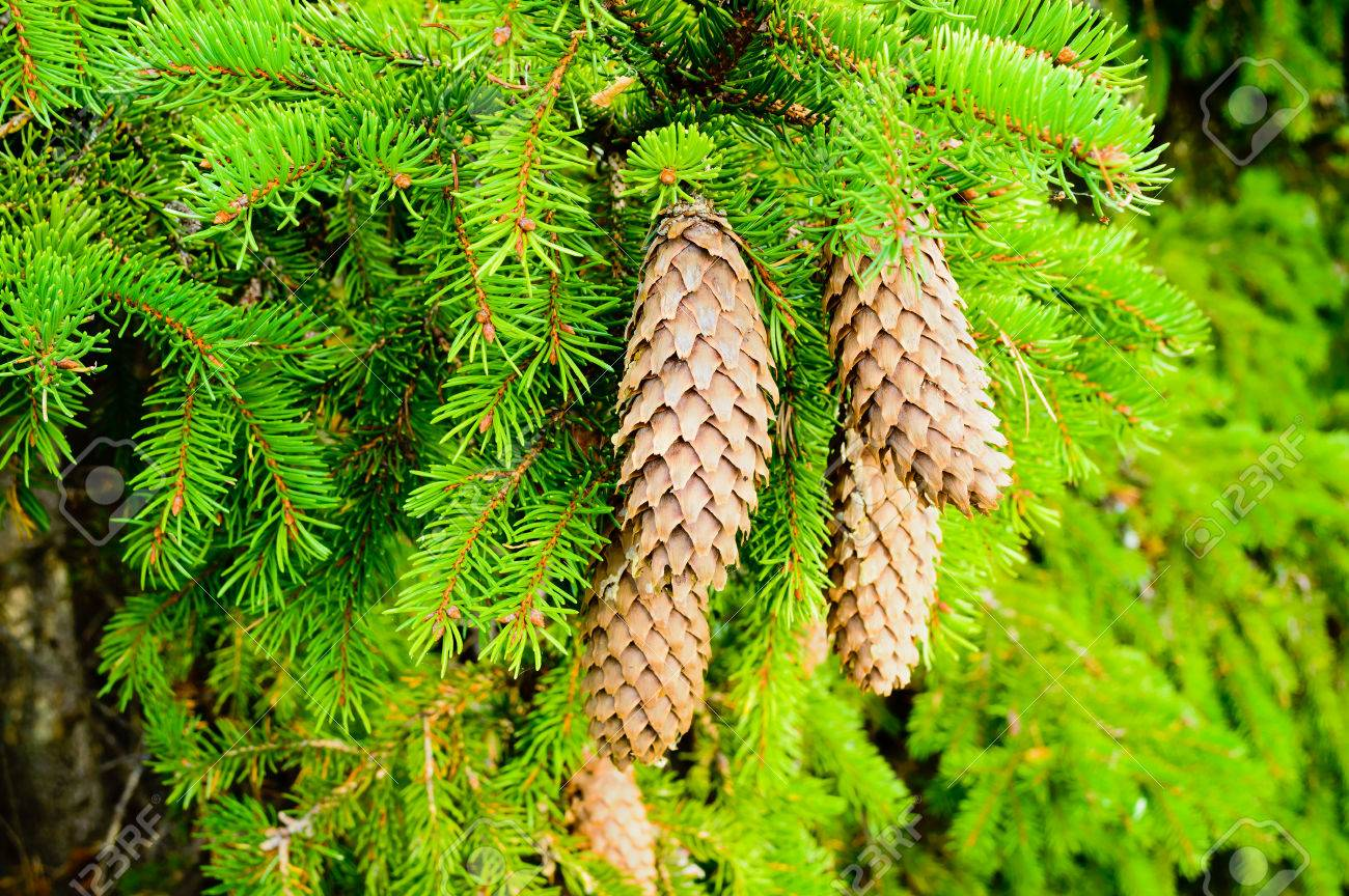 A Small Bunch Of Spruce Cones Hanging From A Branch. Spruce Needles ...