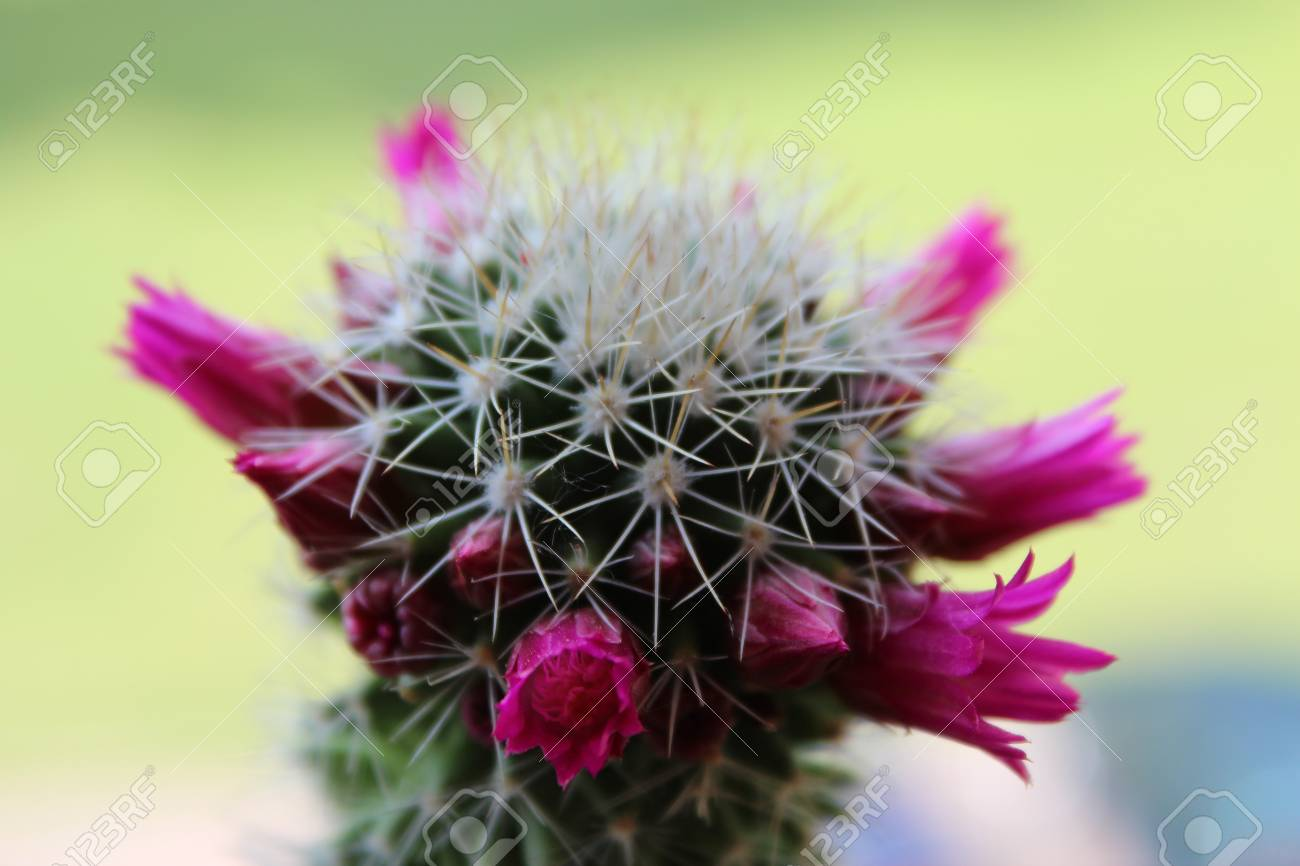 Tip Of A Cactus With Pink Flowers Stock Photo Picture And Royalty