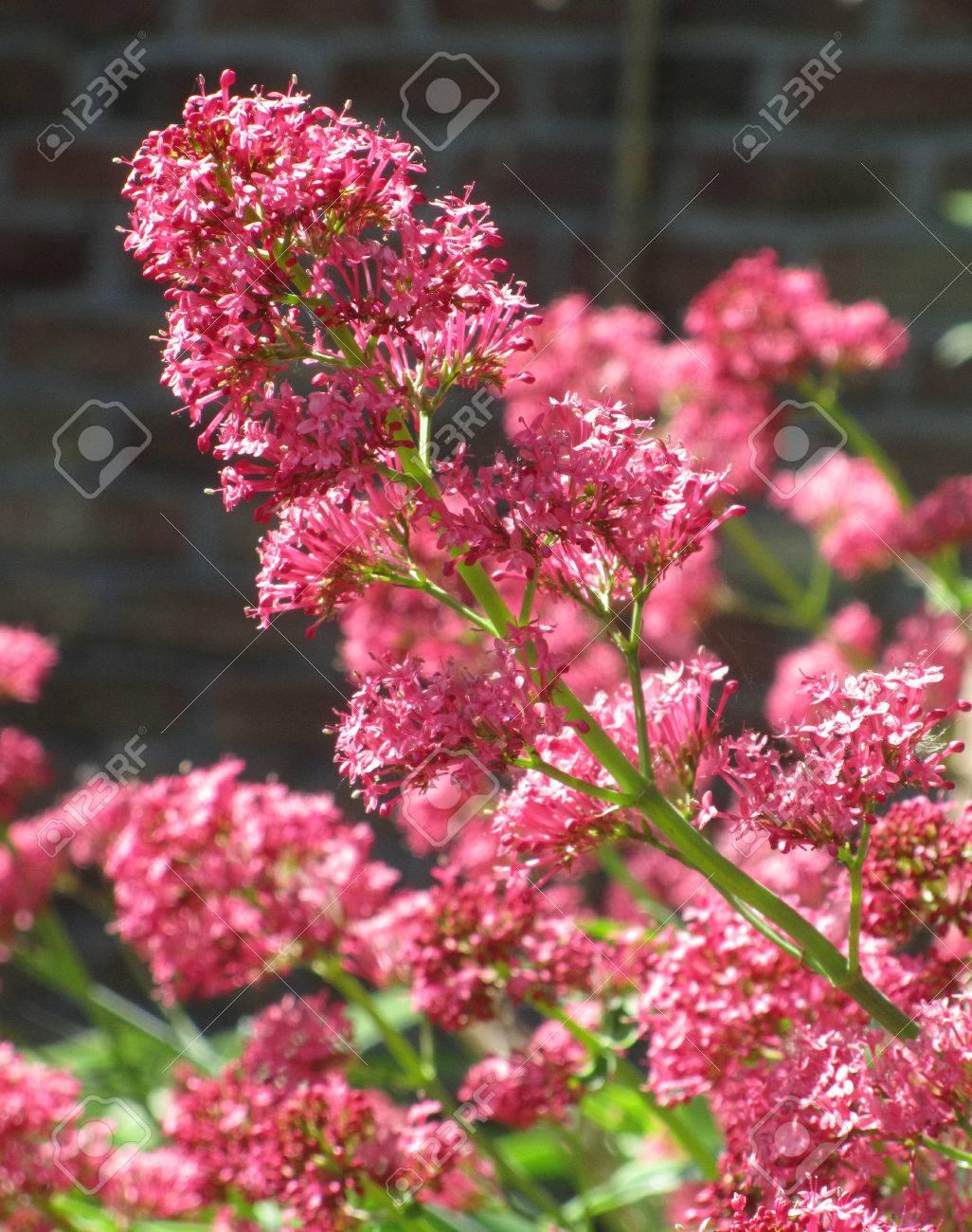 Pianta Fiori Rosa.Immagini Stock I Bellissimi Fiori Rosa Di Centranthus Ruber