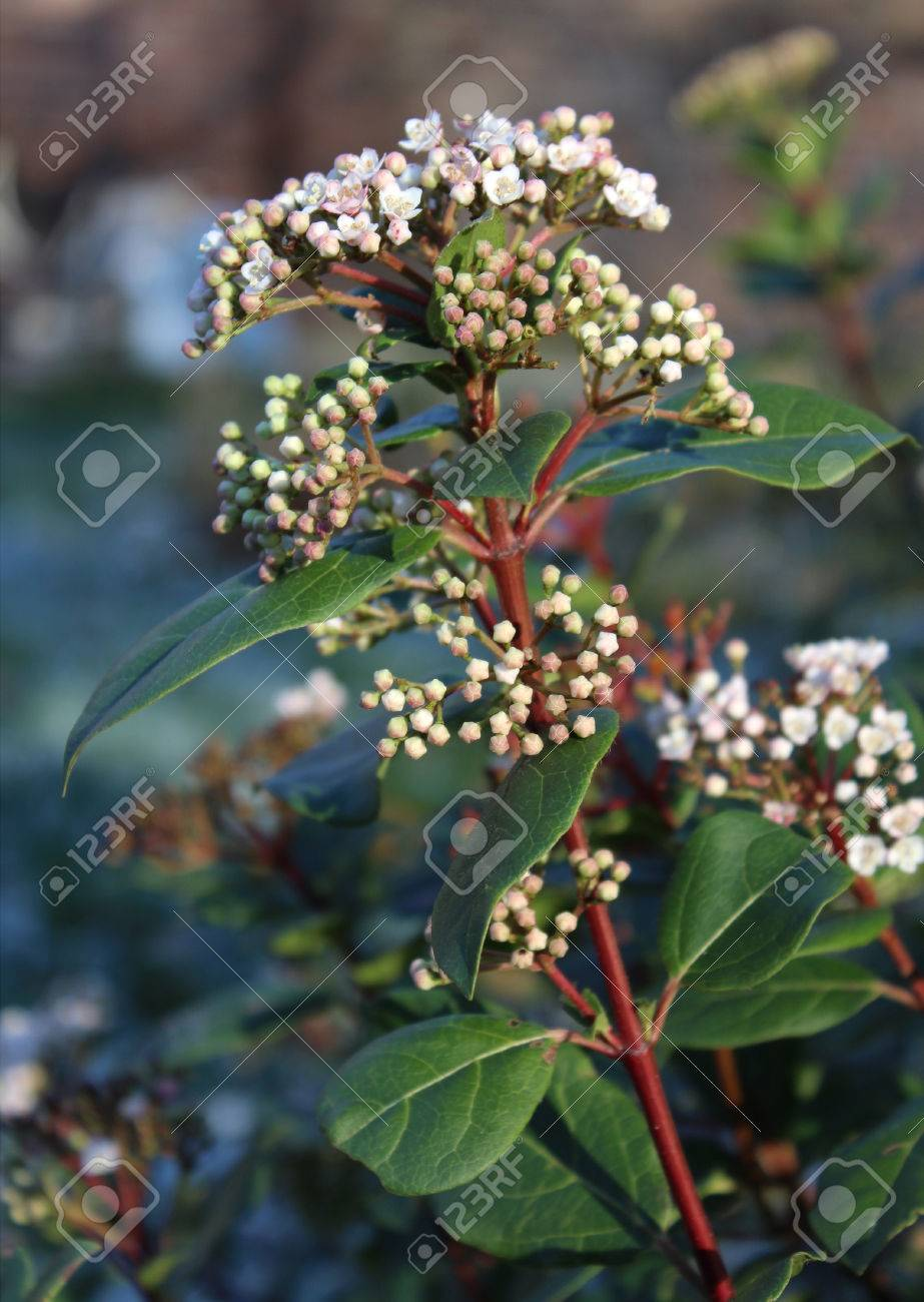 The beautiful early spring flowering shrub viburnum tinus also stock photo the beautiful early spring flowering shrub viburnum tinus also known as laurestine mightylinksfo