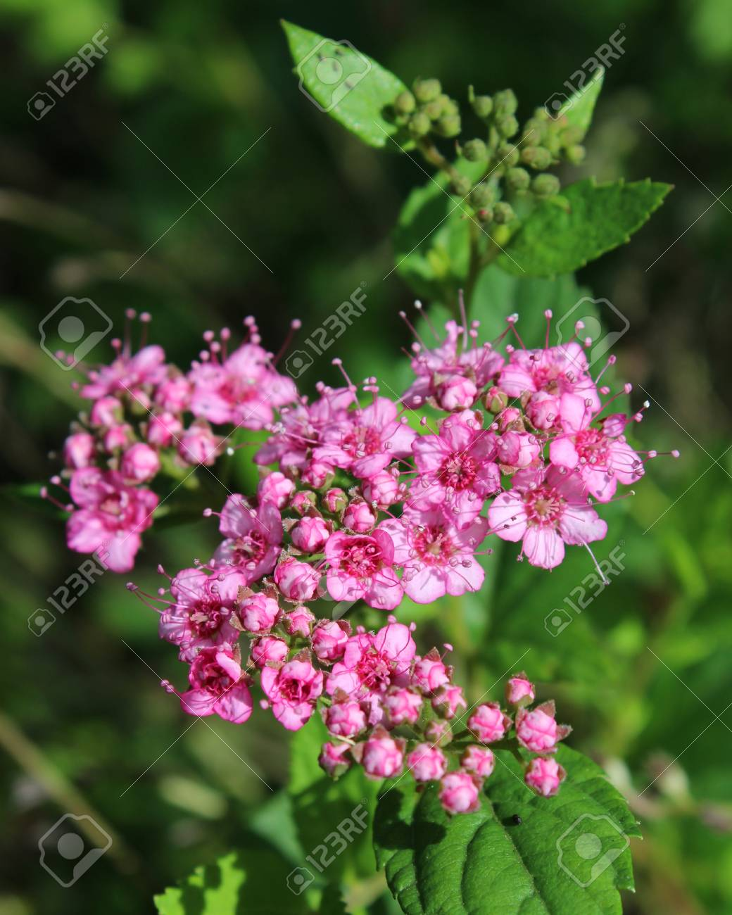 The Lovely Pink Flowers Of Spirea Japonica Little Princess Stock