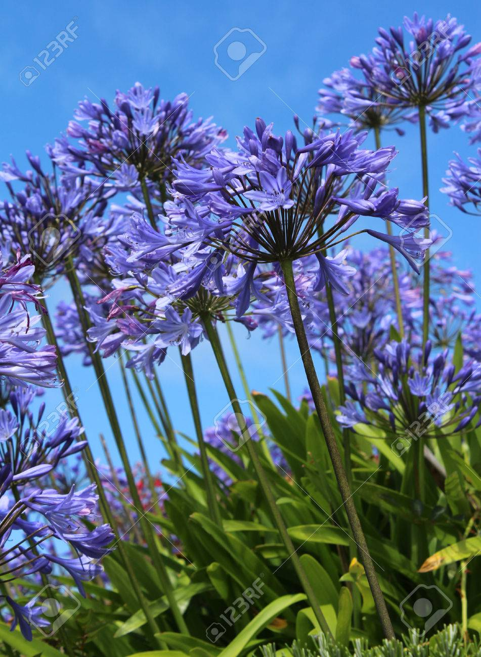 The bright blue flowers of agapanthus also known as african stock stock photo the bright blue flowers of agapanthus also known as african lily or lily of the nile against a background of blue sky izmirmasajfo