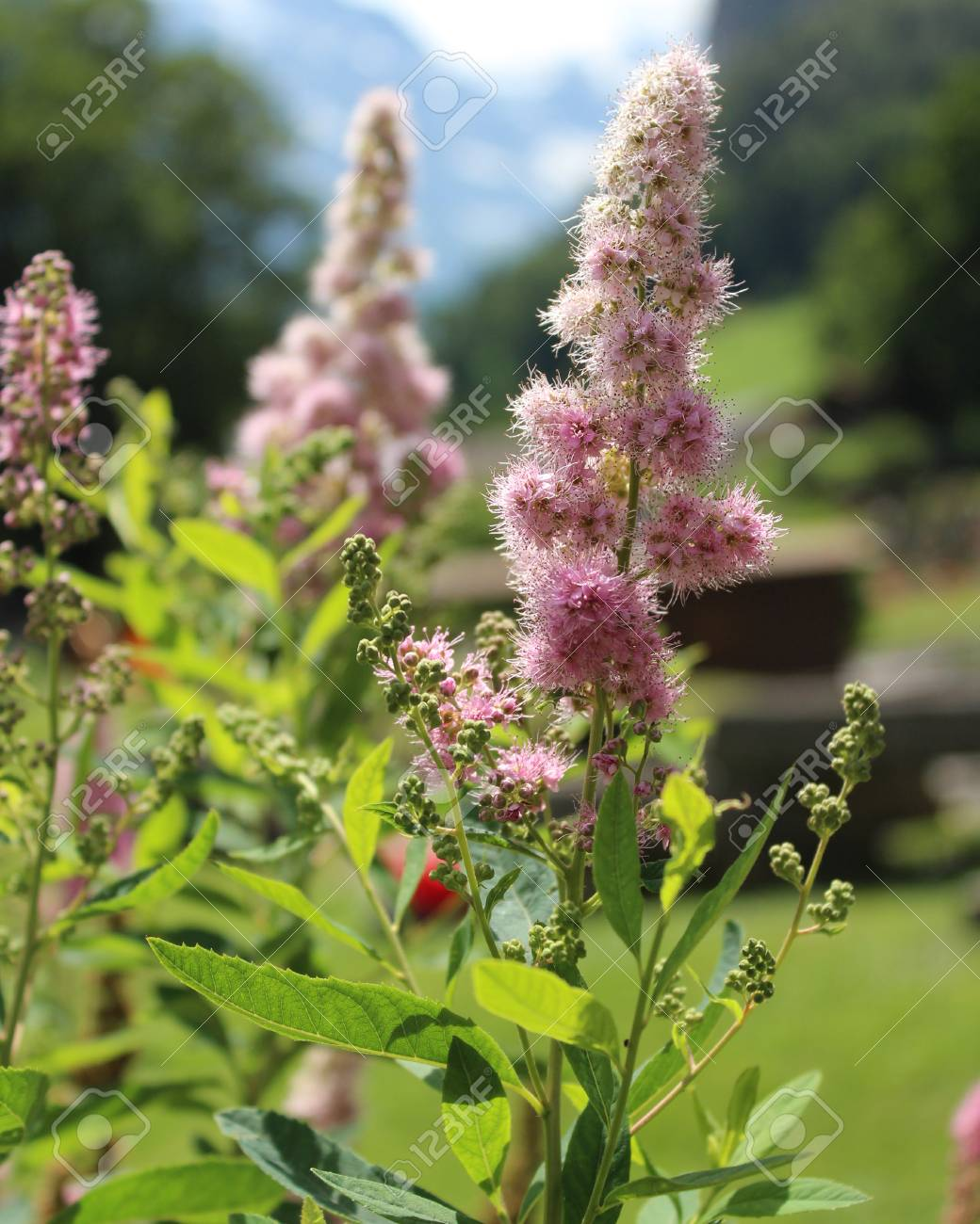 The Pretty Pink Flowers Of Spirea Douglasii Also Known As Hardhack