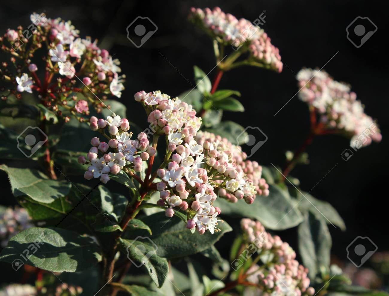 The Beautiful Early Spring Flowering Shrub Viburnum Tinus Also