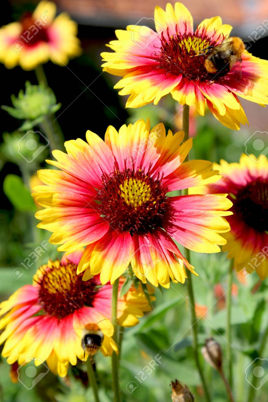 The Bright Yellow And Red Flowers Of Gaillardia Pulchella Picta