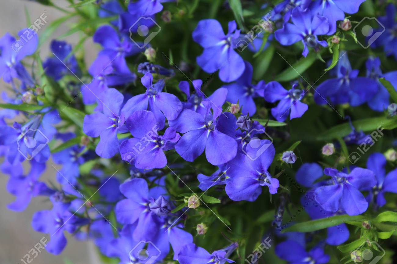 The Beautiful Sapphire Blue Flowers Of Lobelia Erinus A Popular