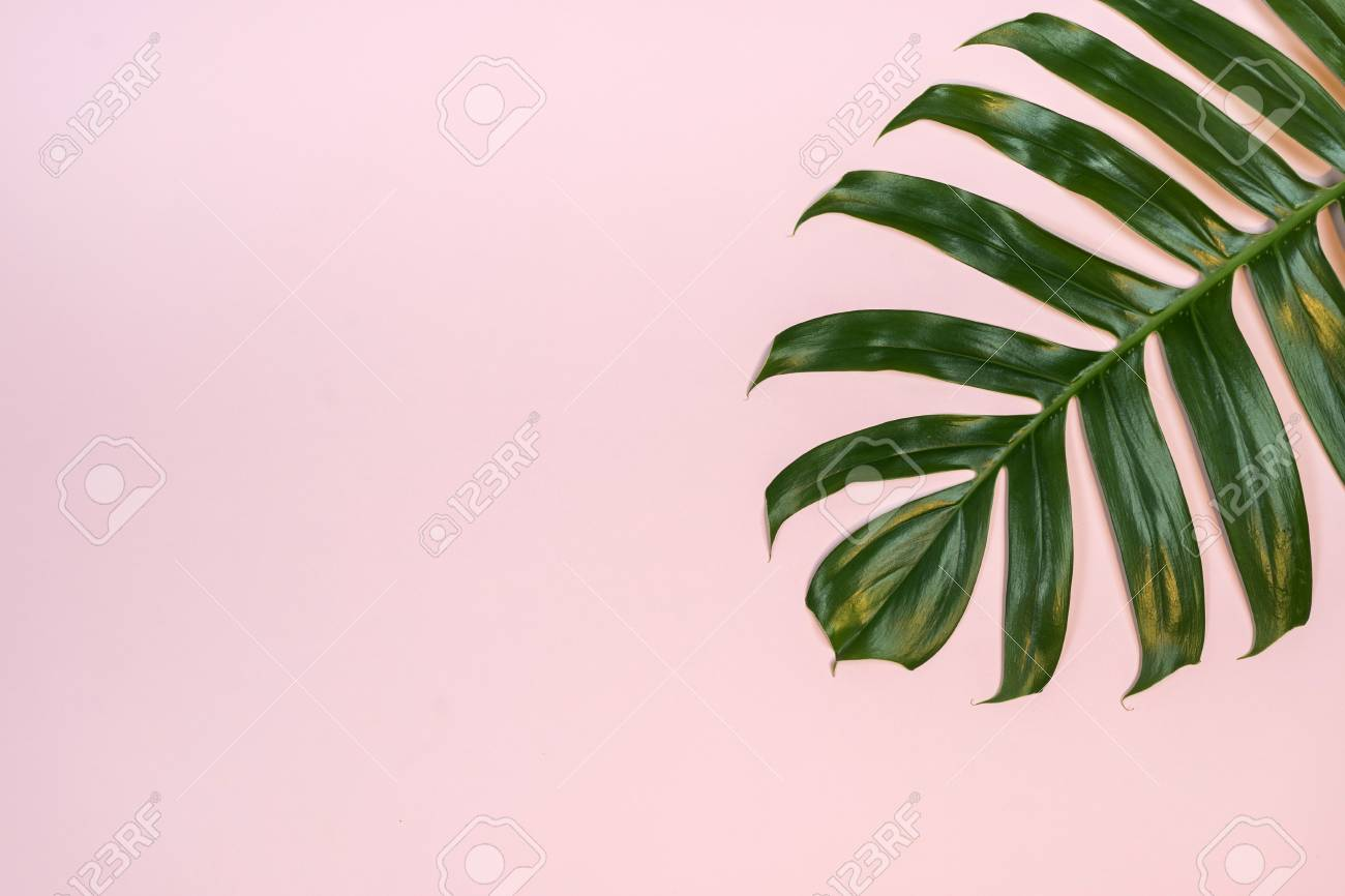Tropical Palm Leaf On Pink Background Flat Lay Top View Stock Photo Picture And Royalty Free Image Image 108872079 Beautiful leaves of tropical plants calathea, caladium, ficus and others, painted by hand tropical clipart is perfect for your design, beauty, weddings, parties, birthdays, blog, website, print and many others. tropical palm leaf on pink background flat lay top view