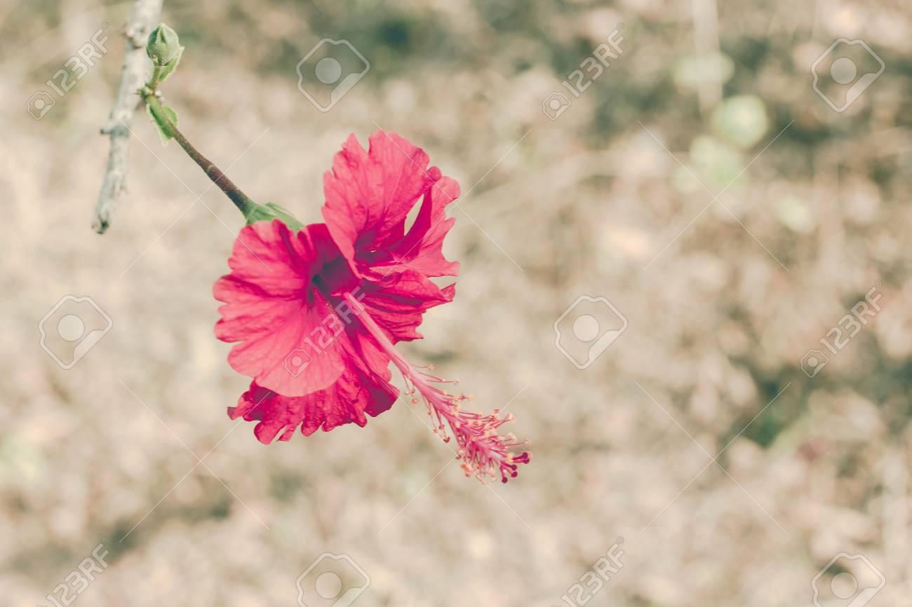 Closeup Chinois Rose Fleur Rouge Dans Mon Jardin A L Air Magnifique