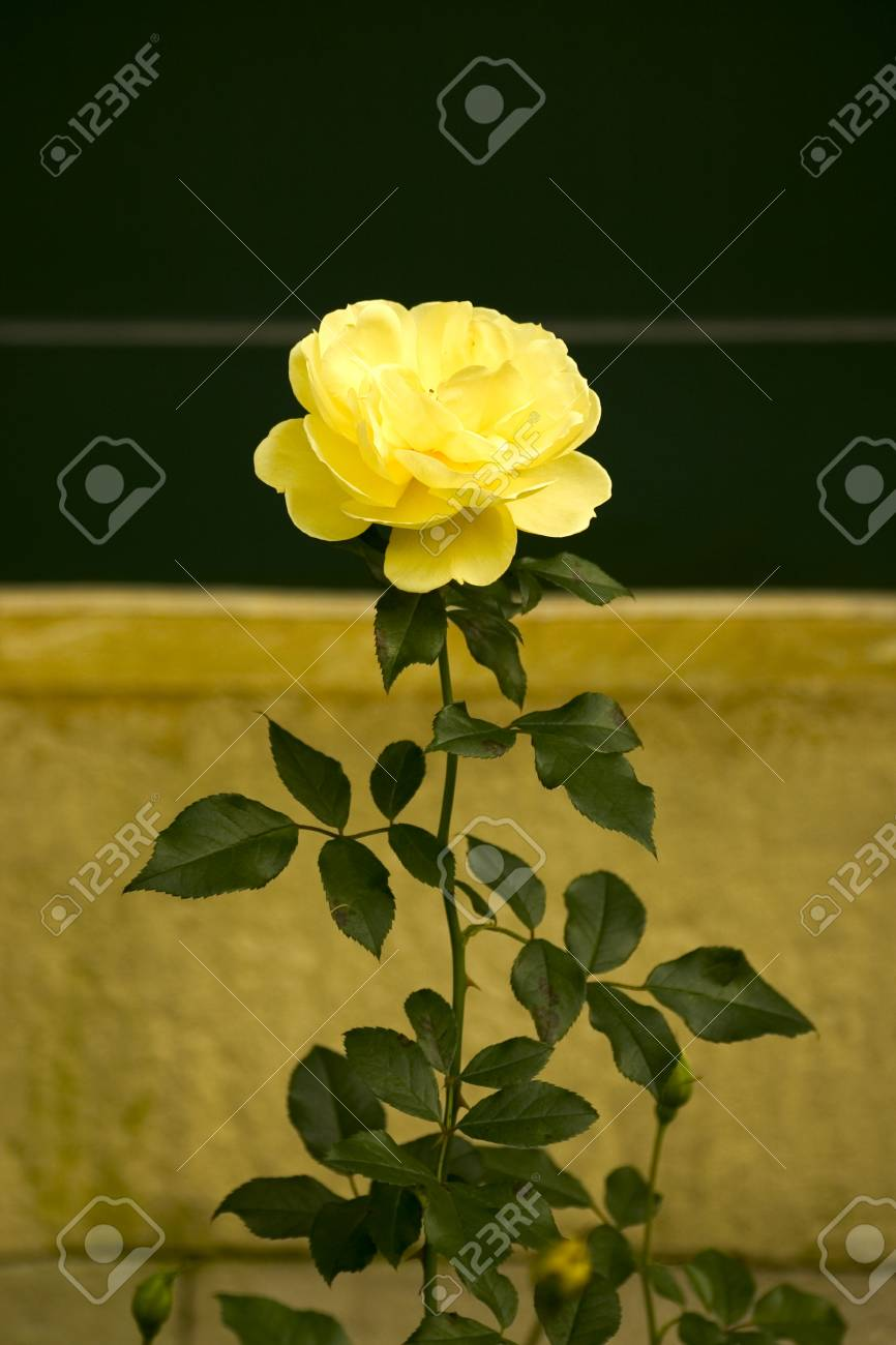 Flores Hermosas Rosas Fotos Retratos Imgenes Y Fotografa De