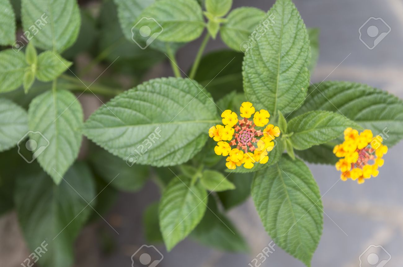 Mint leaves and yellow flowers stock photo picture and royalty free mint leaves and yellow flowers stock photo 31239453 mightylinksfo