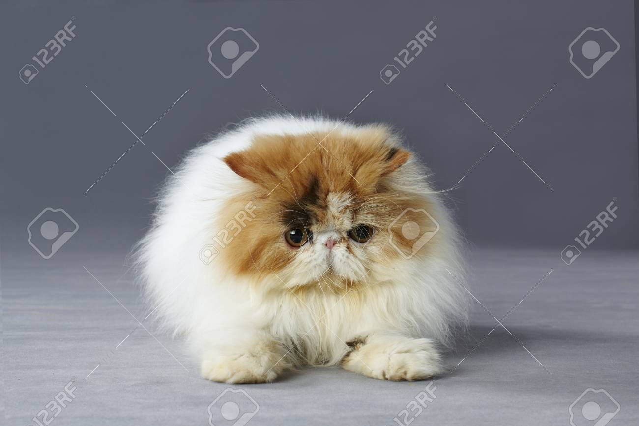 Calico Persian Cat Sitting Grey Background Stock Picture
