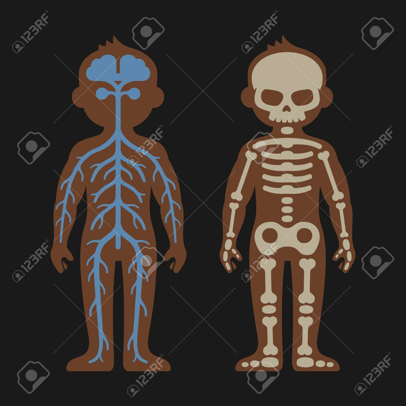 Menschlicher Körper-Anatomie-Set. Skeletonand Nervensystem. Vektor ...