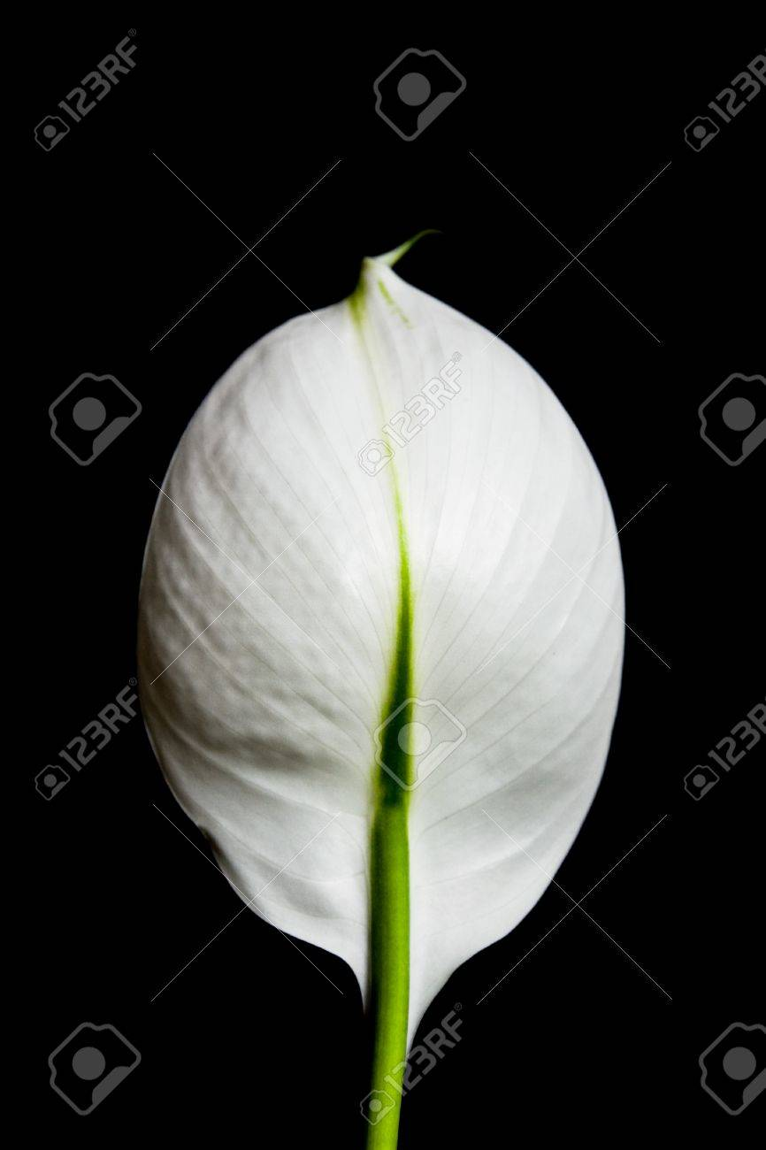 A single white flower isolated on black background. Stock Photo - 11084051
