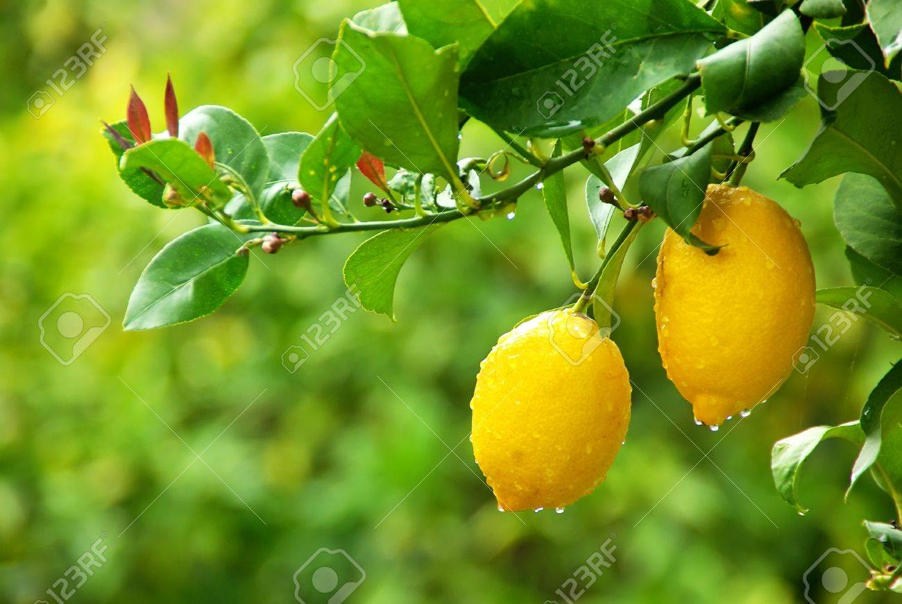 yellow lemons hanging on tree - 12980837