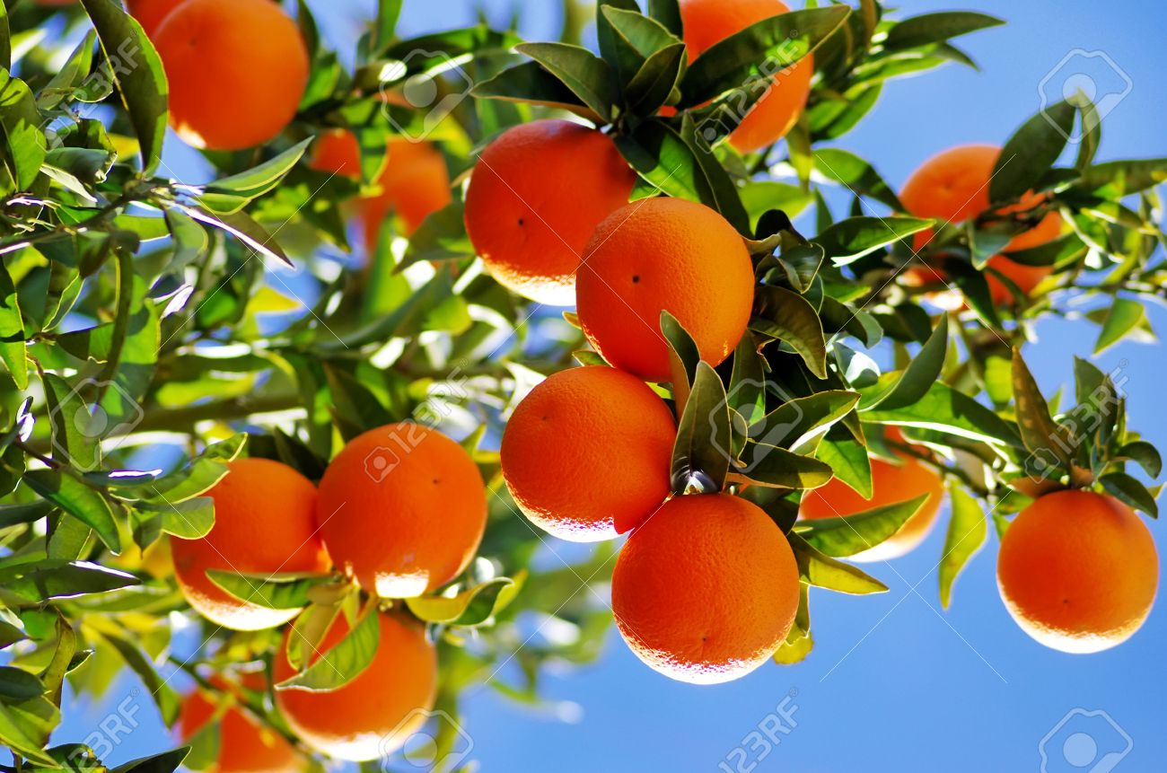 Ripe oranges on branch - 26559109