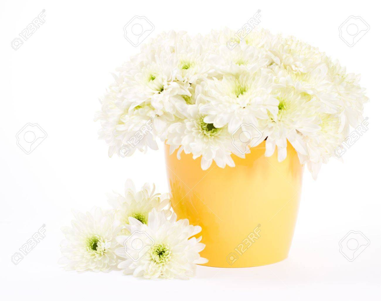 white chrysanthemum bouquet in yellow flower pot over white, Beautiful flower