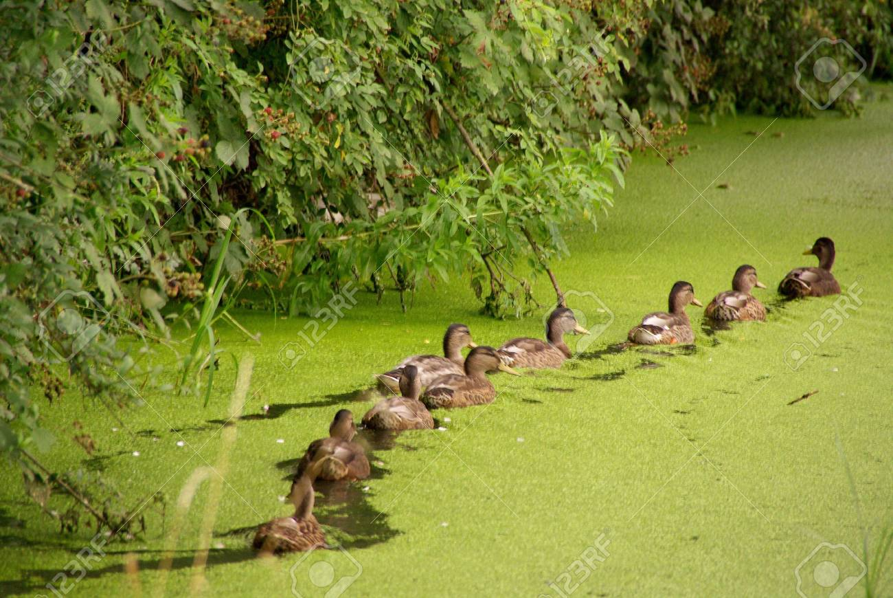 Mallards in a row in a ditch with duckweed Stock Photo - 3333603