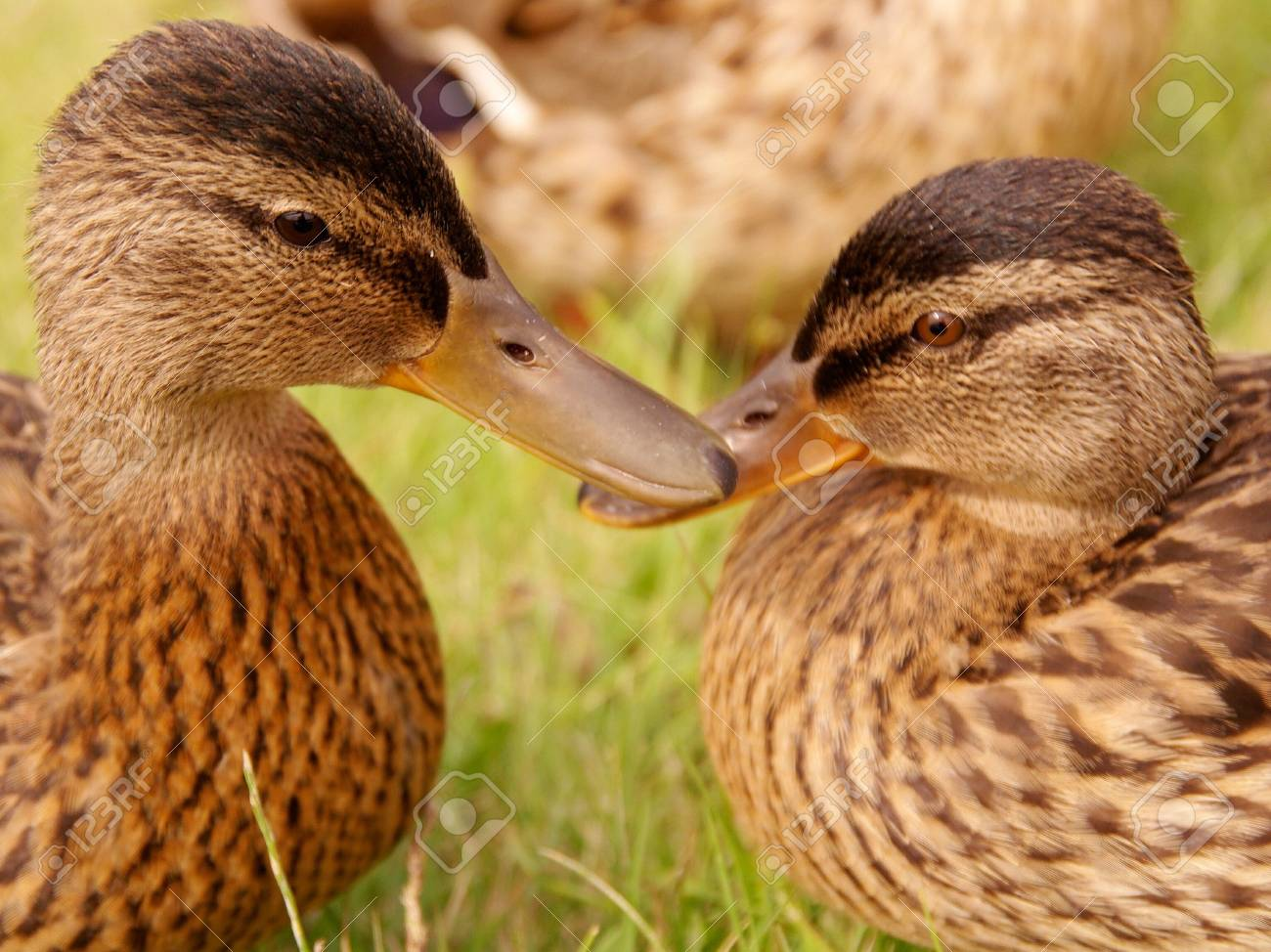 Portrait of two young mallards Stock Photo - 3336244