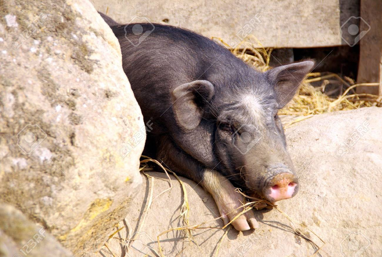 A portrait of a Vetnamese pig Stock Photo - 4329699