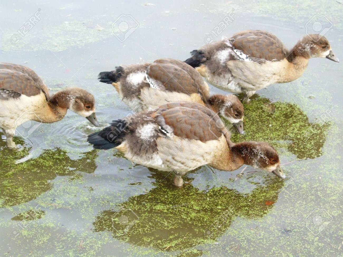 Young egyptian geese Stock Photo - 4474608