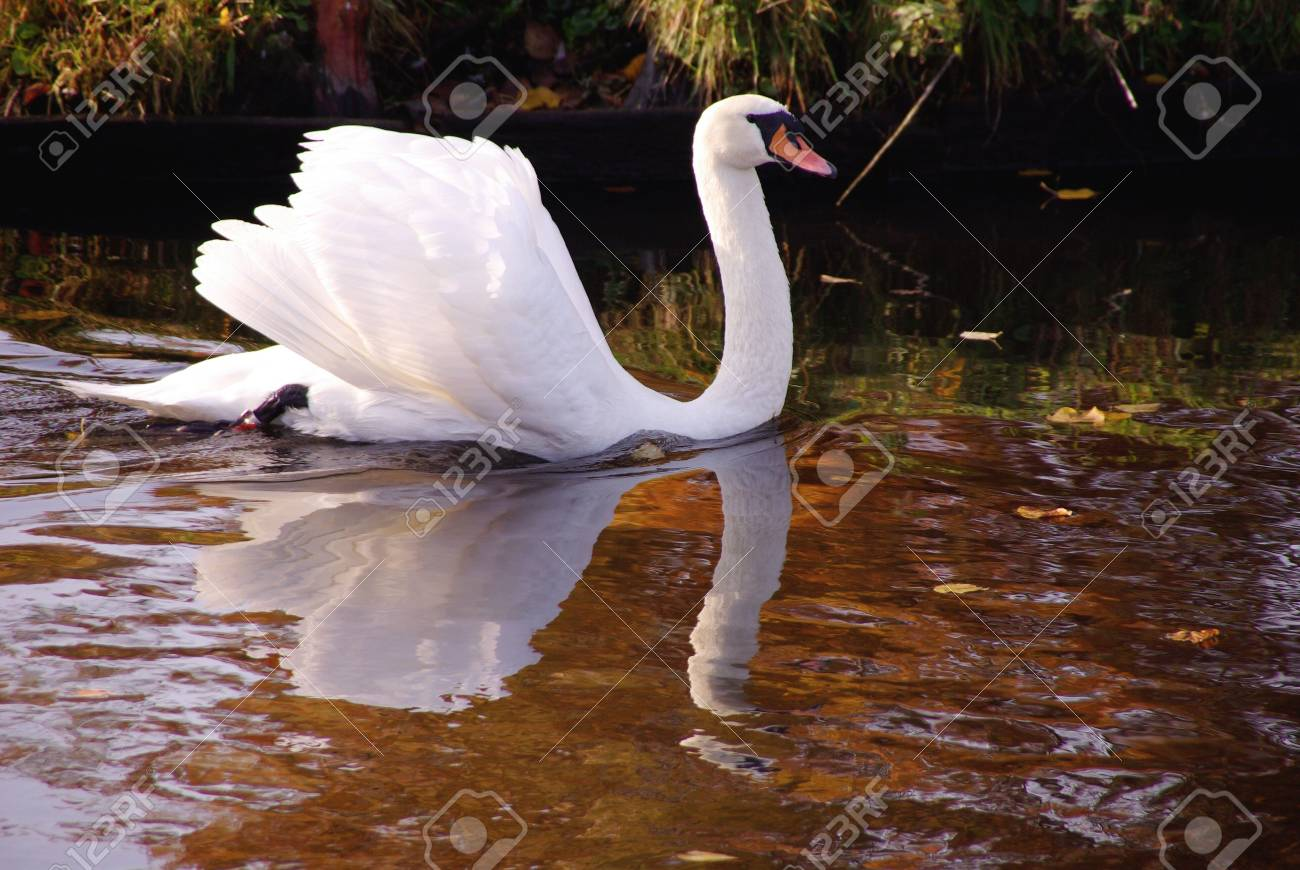 A furious mute swan (cugnus olur) Stock Photo - 5808581