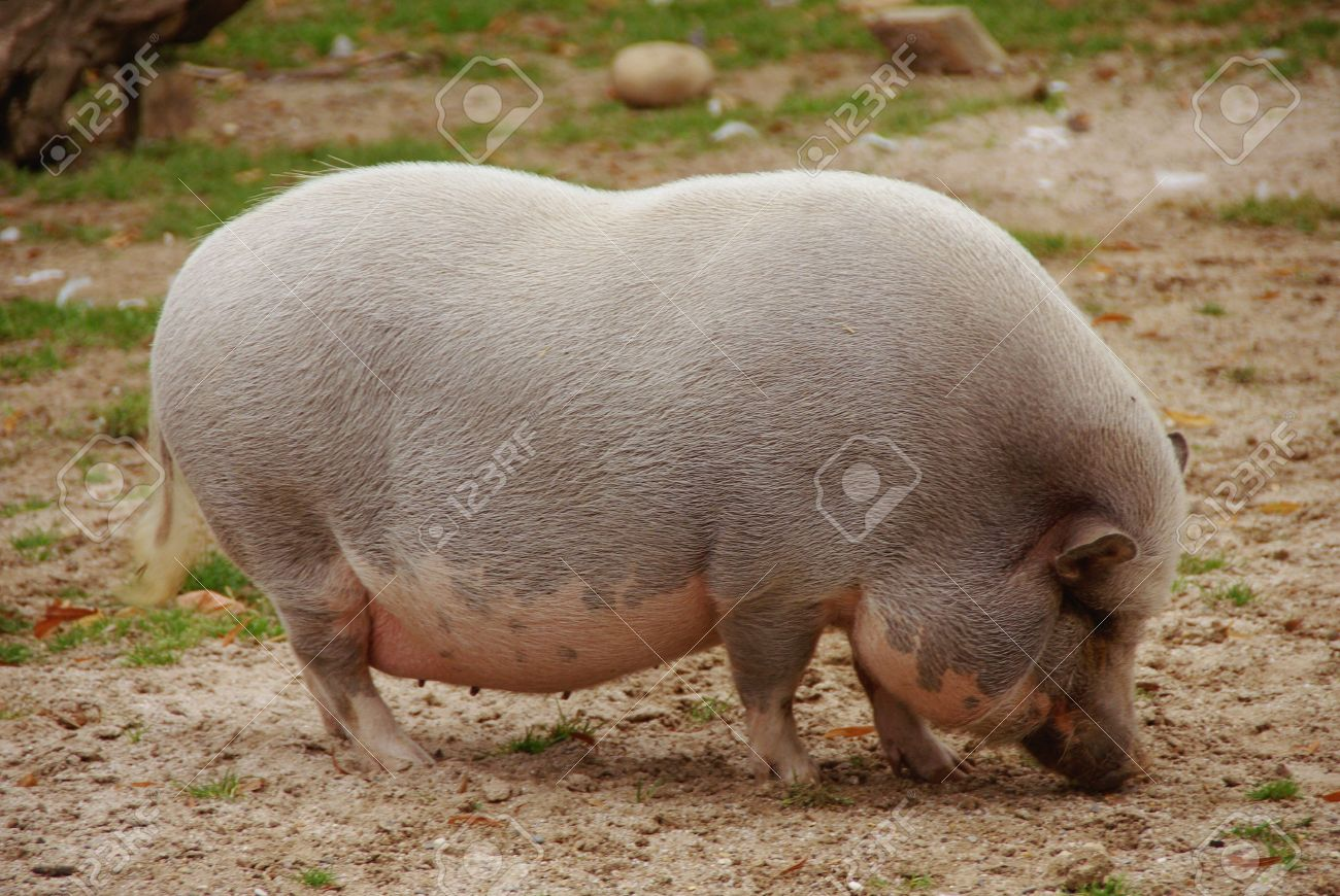 photo How to Breed Pot Bellied Pigs